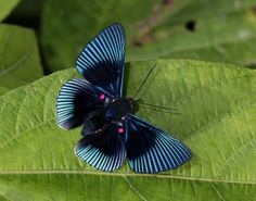 Blue-rayed Metalmark (Lyropteryx apollonia), found in South America; this butterfly mimics another toxic species, deceived birds that avoid feeding on her. Butterfly Kisses, Butterfly Flowers, Beautiful Bugs, Beautiful Butterflies, Cool Insects, Flying Flowers, Moth Caterpillar, Amazon Rainforest, Beetles