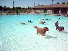 Golden Retriever Running Around at Tacoma's Dog Pool Party at Stewart Heights - YouTube