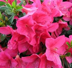 Glamour Azalea Evergreen azalea with an upright and rounded habit. Brilliant rose-pink, single, 2-3flowers. Blooms mid April to early May.