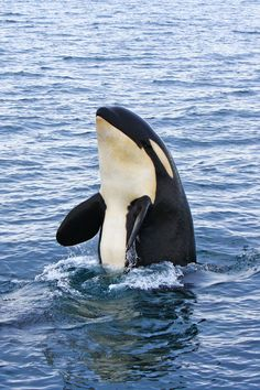 """Orca in the wild -- by Akiko F, via 500px -- Orcas (Orcinus orca) are also known as """"Killer Whales"""", but they are not killers of humans -- and they are not even whales. Orcas actually belong to the dolphin family. These animals divide themselves into family groups, or pods, that are lead by an adult female. Orcas captured for sea aquariums live an average of only five and a half years, whereas orcas in natural habitats are able to reach 80 years."""