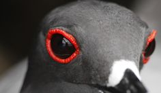Eyes of a Swallow-Tail Gull http://www.galapagosexpeditions.com/islands/animals-wildlife.php