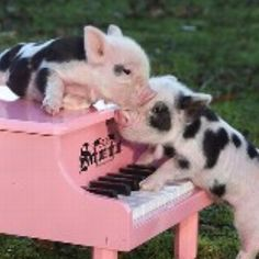 i think my mini pig will play the violin and not the piano