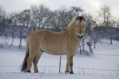Fjord Horse | Fjord horse - Horses Photo (1256820) - Fanpop fanclubs