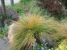 Plant photo of: Stipa arundinacea Xeriscape Plants, Garden Plants, Plant Information, Sun And Water, Dry Creek, Woodland Garden, Drought Tolerant, Outdoor Gardens, Landscaping