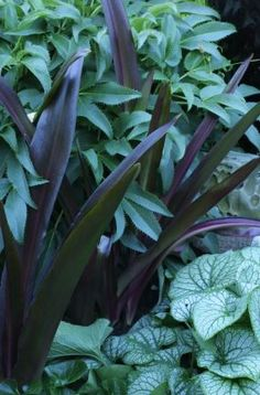 Laura's garden in Oregon..pretty contrasts! black pot and burgundy-leaved eucomis create lots of excitement when combined with the silvery leaves of the brunnera and the hellebore...