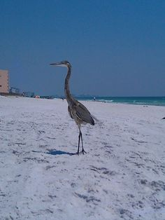 Blue Herron on the beach in Destin, Florida.