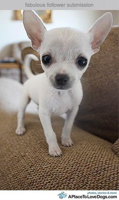 This 2 types of Chihuahua are very popular today. If you want to know the difference about apple head chihuahua and deer head chihuahua, read the short guide about them. Teacup Chihuahua, Chihuahua Love, Chihuahua Puppies, Cute Puppies, Cute Dogs, Dogs And Puppies, Types Of Chihuahua, Doggies, White Chihuahua