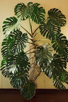 Monstera deliciosa | 17 Incredible Houseplants You Need Right Now