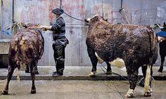 Health 4 All - Διατροφή, Δίαιτα, Υγεία, Ευεξία: Το βοδινό κρέας κοστίζει πολύ στο περιβάλλον Cow, Horses, Health, Animals, Animales, Health Care, Animaux, Cattle, Animal