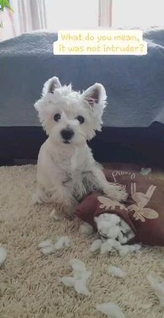 West Highland Terrier, West Terrier, Westie Puppies, Cute Dogs And Puppies, Doggies, Cute Funny Animals, Cute Baby Animals, Food Dog, Dou Dou