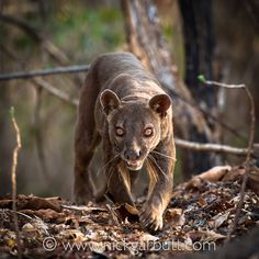 The fossa (Cryptoprocta ferox), Madagascar's largest carnivore.  Distant cousin of the mongoose; evidence that it cooperatively hunted the island's now extinct giant lemurs.