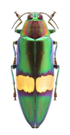 Chrysochroa saundersi