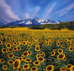 A field of Colorado sunflowers stacking up on Mt Wilson Celebrating over a million views on my photostream, thanks for looking fellow photography lovers. Sunflower Garden, Sunflower Art, Sunflower Fields, Scenic Photography, Nature Photography, Beautiful World, Beautiful Places, Colorado, Sunflower Photography