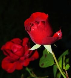 Most beautiful red roses hd wallpapers 500 beautiful rose pictures transpa background light pink rose library of photos flowers Flower Rose Images, Rose Images Hd, Rose Flower Hd, Heart Images, Photo Fleur Rose, Image Hd, Beautiful Rose Flowers, Amazing Flowers, Rose Pictures