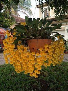 Clique e assista o vídeo. Orchids Garden, Orchid Plants, Exotic Plants, Tropical Plants, Unusual Flowers, Rare Flowers, Flowers Nature, Beautiful Flowers, Beautiful Beautiful