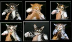 Welcome to our Photo Gallery of Maine Coon Kitens