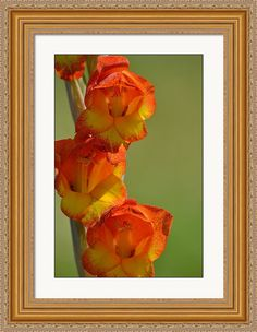 rd Erickson Framed Print featuring the photograph Glads Gladiolus by rd Erickson