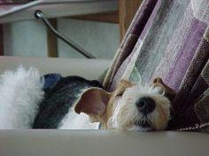Fox Terrier. Fox Fox Fox  085.250