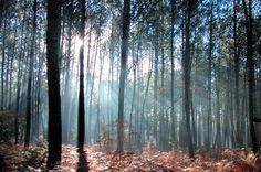La forêt des Landes recouvre les deux tiers du territoire départemental. C'est une forêt constituée de pins maritimes qui a été plantée afin d'arrêter la progression des dunes mobiles vers l'intérieur du pays de Buch etpour la plus grande joie des promeneurs. © Arnaud Martin