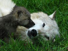 .Wolf mom and pup