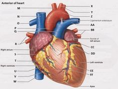 Picture nursing board pinterest medical coding heart and blood vessels flashcards quizlet ccuart Choice Image