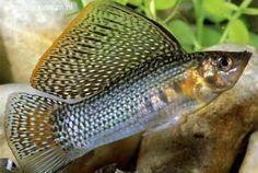 Poecilia velifera (Hoogvinkarper) Tropical Aquarium, Tropical Fish, Siamese Fighting Fish, Guppy, Freshwater Aquarium, Fresh Water, Prints, Animals, Beautiful