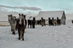 "Icelandic horses ""We are coming for bread darling"" :)"