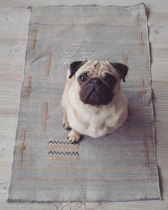 Bertje waiting for another treat on a faded bluish gray Moroccan cactus silk rug or wall hanging... #cactussilk #sabrasilk #moroccanrug #tribalrug #fadedrug #bohostyle #pug #cutepugs #pugsofinstagram #puglife