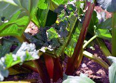 Enjoy calcium-rich rhubarb all year round.