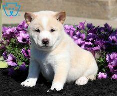 Brody   Shiba Inu Puppy For Sale   Keystone Puppies Shiba Inu, Puppies For Sale, Husky, Labrador Retriever, Corgi, Animals, Labrador Retrievers, Corgis, Animales