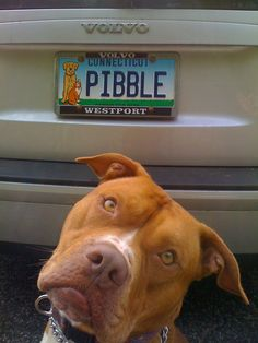 """The only people that don't like pitbulls haven't met a pitbull"" spongebob quote... modified. the most baby-faced, adoring, joyful lap dogs of the dog world.  Also the most frequently bred, abused, chained, abandoned, and subsequently murdered."