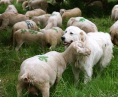 Great Pyrenees breed of livestock guard dog.