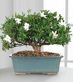 The Blossoming Abundance Gardenia Bonsai ushers in beauty and sweet fragrance with its graceful white blooms. This exceptional bonsai displays its lush foliage and snowy white flowers from a blue ceramic planter to create a gift that expresses joy and unending happiness. Arrives ready to asemble with plant, tray and rocks.