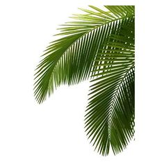 'Tropical Palm Leaves' Poster by Plant Wallpaper, Nature Wallpaper, Leaves Wallpaper Iphone, Trendy Wallpaper, Fabric Wallpaper, Pattern Wallpaper, Iphone Wallpapers, Affinity Photo, Leaf Template