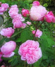 'Sidonie (damask perpetual, Vibert, 1845)' rose photo - note to see if I can get this from Goodwood Gardens sale