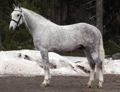 Hanoverian stallion Catcall
