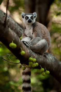 lemurs in madagascar assignment 2 essay The evolution of primate locomotion and body configuration  of strepsirhines and lemurs are found on madagascar,  security computer science essay.