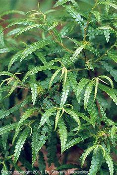 Comptonia peregrina (Sweetfern)  