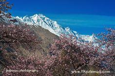 Fruit Blossom Trees with Rakaposhi mountain in background | Northern Pakistan