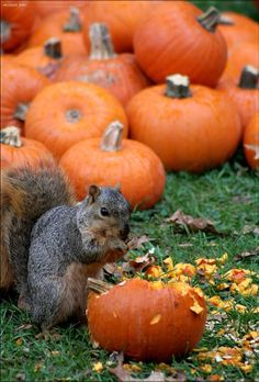 Squirrel thief eating a pumpkin. Halloween Snacks, Fall Halloween, Animals Beautiful, Cute Animals, Farm Animals, Funny Animals, Foto Poster, Tier Fotos, Mundo Animal