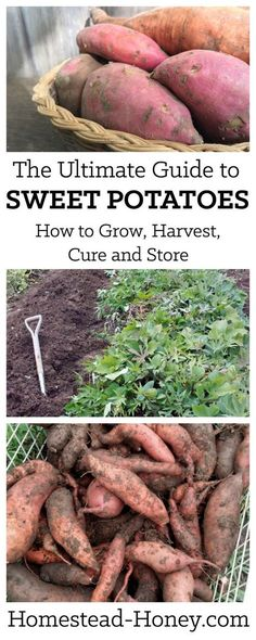 Sweet Potatoes are easy to grow and are a wonderful storage crop. Not to mention that homegrown sweet potatoes are out-of-this-world delicious! This ultimate guide will show you how to grow, harvest, cure, and store sweet potatoes for winter eating! | Homestead Honey