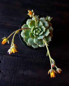 Succulents: Painted Lady