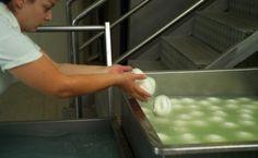 TASTE THE FOOD: l'Azienda agricola casearia MASSERIA LUPATA è specializzata nella raffinata arte di trasformare il latte in una pietanza gustosa: la mozzarella di bufala. http://www.masserialupatabarlotti.it/