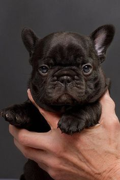 French Bulldog Puppy. I would love a puppy but life is too full. Patience!