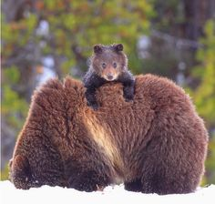 Baby Grizzly Bear Riding On Mom's Back