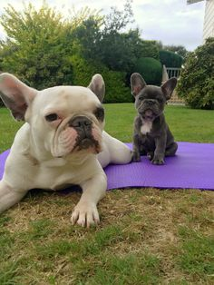 My two girls   Princess and Margot the cutest French Bulldogs