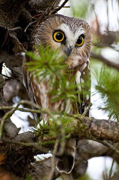 Saw-whet Owl Pictures 11 Art Print by Owl Images. All prints are professionally printed, packaged, and shipped within 3 - 4 business days. Owl Photos, Owl Pictures, Owl Bird, Pet Birds, Nocturne, Saw Whet Owl, Matou, Tier Fotos, Mundo Animal