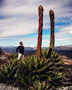 #cactuscollector #cactus #cactos #cacti #cactusthailand #cactusbloom #cactuslife #cactusplanet #cactusmovement #cactusmania #cactusworld #cactuspremium #flowers #nature #green #cactusrepost #cactustattoo #cactusthai #cactusmagazine #cactuspeople #cactuslovers #beautiful #succulent #sukulent #cactusmania #mycactus #kakteen #kaktus #kaktüs #green #agave