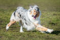 Khloorah Portrait - Khloora an Australian Shepherd at Dallas Road in Victoria BC