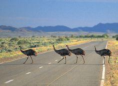Emu crossing, Barossa Valley.